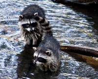 Racoon family antics