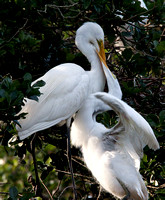 Great Egret meal