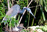 Tri-colored Heron and baby