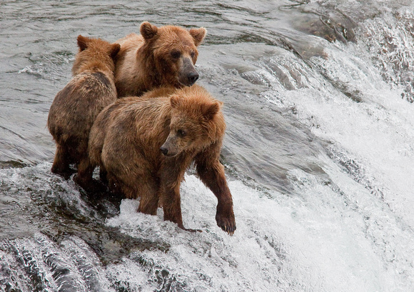Brooks River Brown Bears