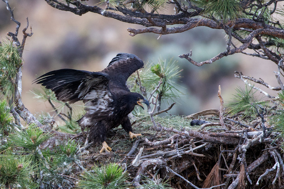 Eaglet vocalizing