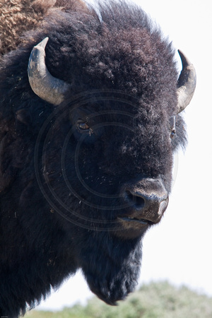 Bison up close and personal