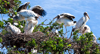 Wood Stork party