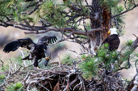 Eaglet with fish