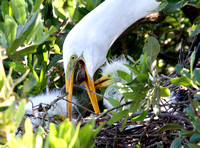 Great Egret feeding baby