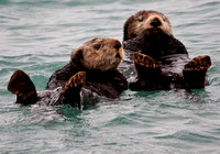 Alaskan Sea Otters